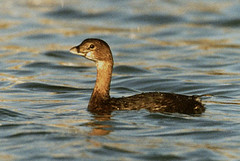 "Pied-billed Grebe, Hayle, Mar 1997 • <a style=""font-size:0.8em;"" href=""http://www.flickr.com/photos/30837261@N07/10723527715/"" target=""_blank"">View on Flickr</a>"