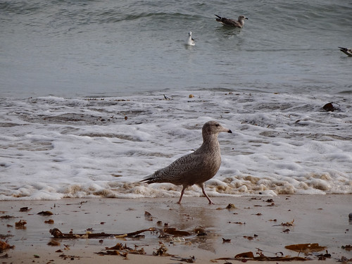 """Glaucous Gull, St Ives, 23.02.14 (D.Flumm) • <a style=""""font-size:0.8em;"""" href=""""http://www.flickr.com/photos/30837261@N07/13851752494/"""" target=""""_blank"""">View on Flickr</a>"""