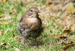 Fluffy the female blackbird
