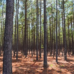 Not sure if this is a forest or a tree farm, both are so common here. There are trucks loaded with trees passing me all day and farms with trees grown in orderly rows. Just outside Lyons, GA. #TheWorldWalk #travel #Georgia #twwphotos