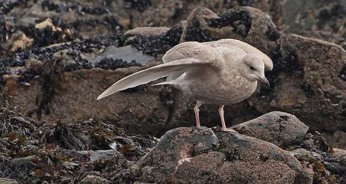 """Iceland Gull, St Ives, 14.01.14 (M.Rouncefield) • <a style=""""font-size:0.8em;"""" href=""""http://www.flickr.com/photos/30837261@N07/11977925695/"""" target=""""_blank"""">View on Flickr</a>"""