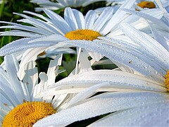 Daisies in dew 2