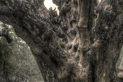 A knobbly tree