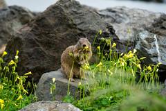 California Ground Squirrel (Otospermophilus beecheyi), Crown Memorial State Beach, Alameda, California, USA