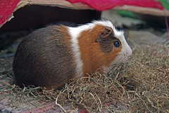 "das Meerschweinchen • <a style=""font-size:0.8em;"" href=""http://www.flickr.com/photos/42554185@N00/19050322321/"" target=""_blank"">View on Flickr</a>"