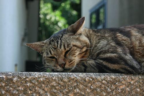 江の島の猫(Cat at Enoshima Island, Kanagawa, Japan)