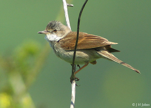 "Whitethroat (J H Johns) • <a style=""font-size:0.8em;"" href=""http://www.flickr.com/photos/30837261@N07/10723343743/"" target=""_blank"">View on Flickr</a>"