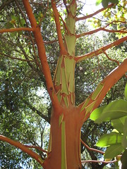Madrone Tree at Tassajara