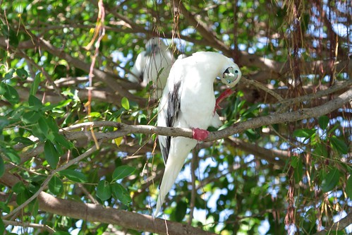 "Red-foot booby • <a style=""font-size:0.8em;"" href=""http://www.flickr.com/photos/137365235@N06/33507969025/"" target=""_blank"">View on Flickr</a>"