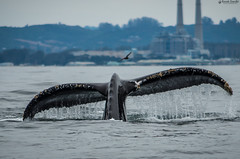 """A humpback whale showing off it's tail... • <a style=""""font-size:0.8em;"""" href=""""http://www.flickr.com/photos/41711332@N00/15139245507/"""" target=""""_blank"""">View on Flickr</a>"""