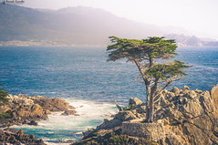 """Lone Cypress • <a style=""""font-size:0.8em;"""" href=""""http://www.flickr.com/photos/41711332@N00/14985428229/"""" target=""""_blank"""">View on Flickr</a>"""