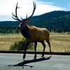"""So why *did* the elk cross the road? • <a style=""""font-size:0.8em;"""" href=""""http://www.flickr.com/photos/24419989@N07/15054879869/"""" target=""""_blank"""">View on Flickr</a>"""