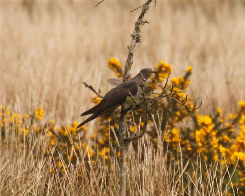 """Cuckoo, Bodmin, 05.05.14 (J.Eames) • <a style=""""font-size:0.8em;"""" href=""""http://www.flickr.com/photos/30837261@N07/14378530113/"""" target=""""_blank"""">View on Flickr</a>"""