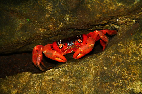 "Red crab • <a style=""font-size:0.8em;"" href=""http://www.flickr.com/photos/137365235@N06/33466879736/"" target=""_blank"">View on Flickr</a>"