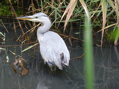 "Heron on Tim's pond Oct 14 (Polly Holbrook) • <a style=""font-size:0.8em;"" href=""http://www.flickr.com/photos/60890513@N06/15455349510/"" target=""_blank"">View on Flickr</a>"