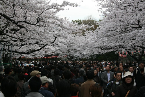 桜 Sakura (Cherry Blossoms) Ueno Park, Tokyo Japan  上野公園花見