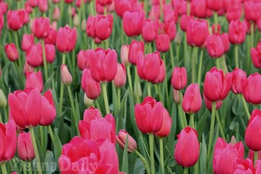 tulpen fuchsia, tulips