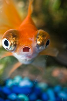 Surprised Goldfish