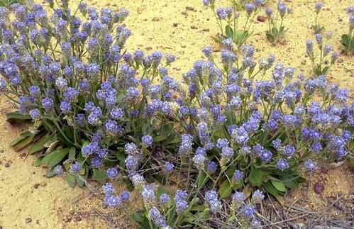 Wildflowers at Petruder Rocks - Near Dallwalinu