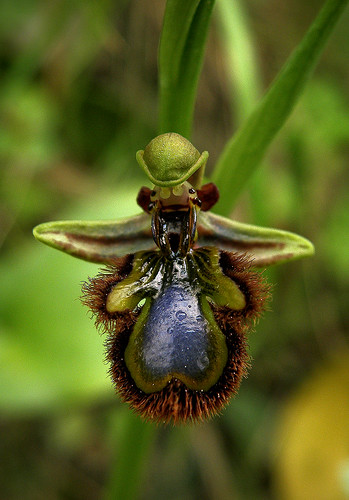 Kdd ardales005 - Orquídea abejera