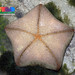 Cushion star (Culcita novaeguineae)
