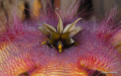 Stapelia gettliffei flower - Corona Macro by Martin_Heigan