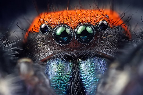 jumping spider eyes macro