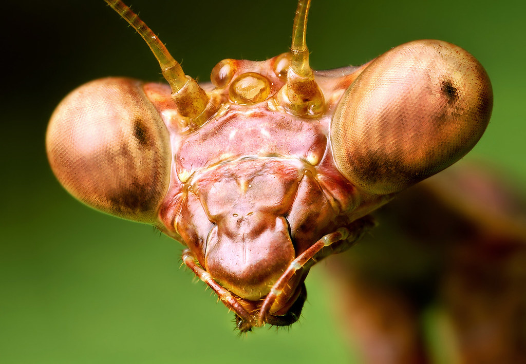 Male Praying Mantis Head  - (Stagmomantis carolina?)