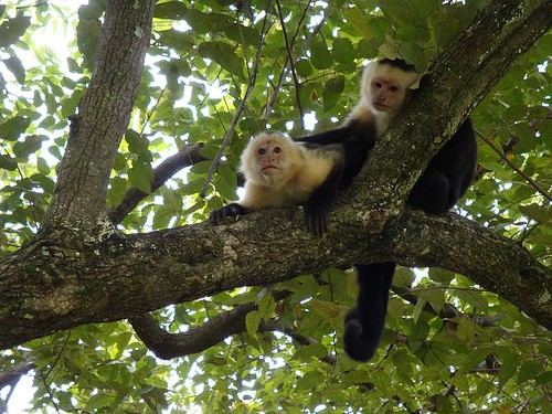 White Headed Capuchin Southern Costa Rica Wildlife