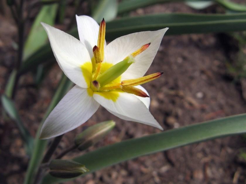 Tulipa turkestanica av knoxilla, på Flickr