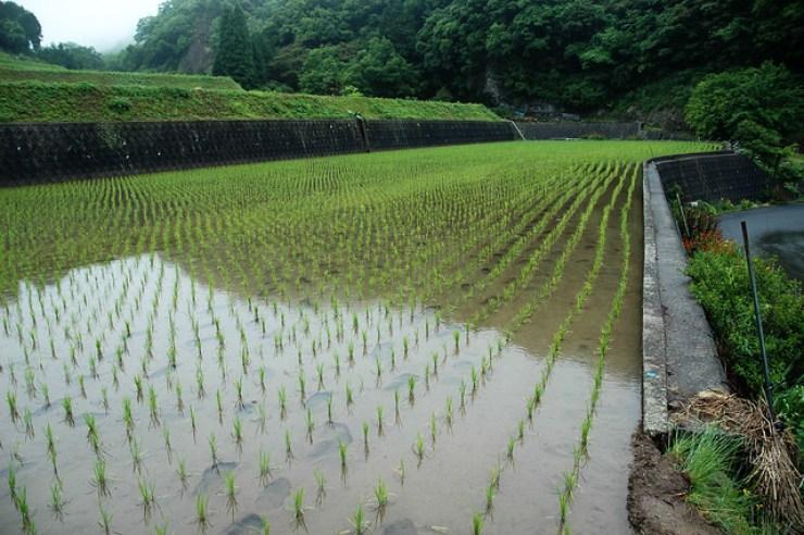 Rice Paddy II