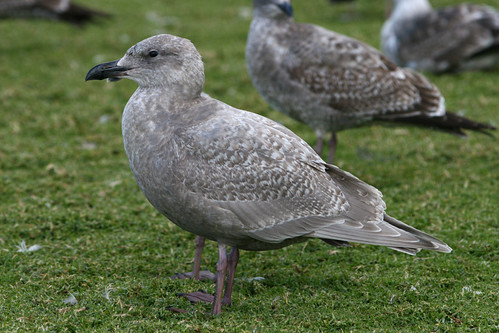 First Winter Glaucous-winged Gull