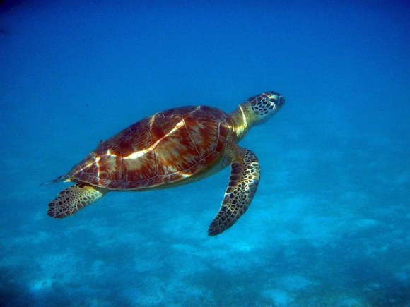 Seaturtle in Flight.