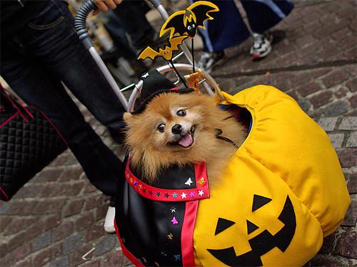 Pumpkin dog Kawasaki Halloween 2008 44