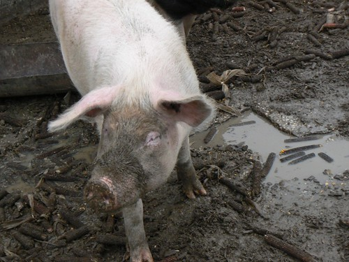 Pig in the wallow