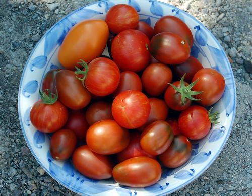 July's Tomato Haul