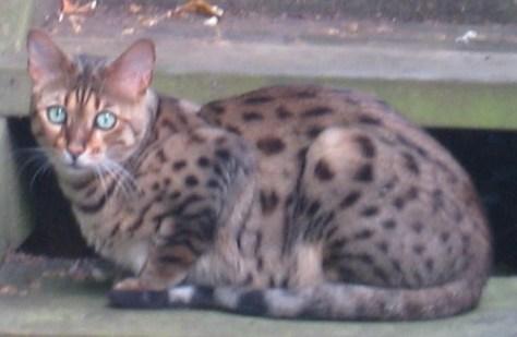 Ocicats - adult  green eyed ocicat