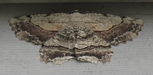 Hand-tinted Woodcut Moth by ammodramus88