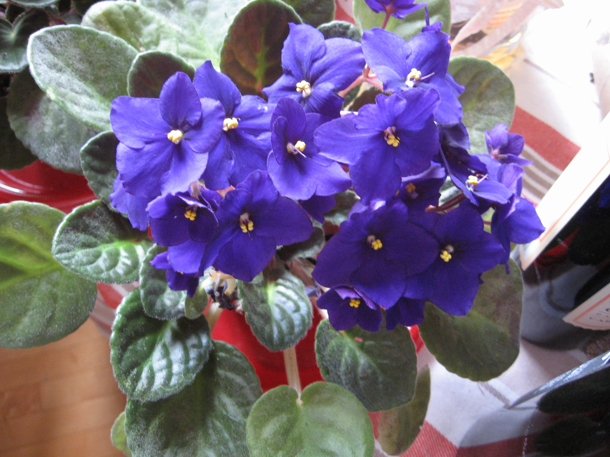 African Violet, photo by Jeff Shaumeyer, used under a Creative Commons License.