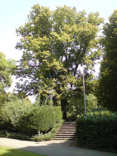 Lindenbaum auf dem Krautkuchen
