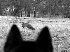 Stalking the venison