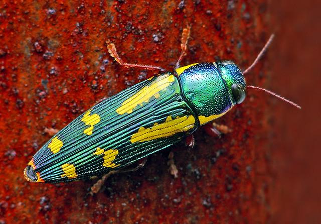 Red-legged Metallic Wood Boring Beetle - (Buprestis rufipes)