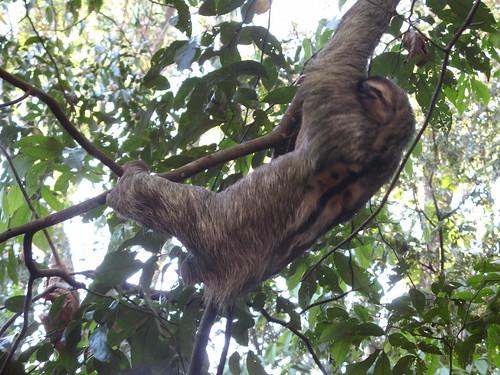 Sloth at Matapalo by Catandrea