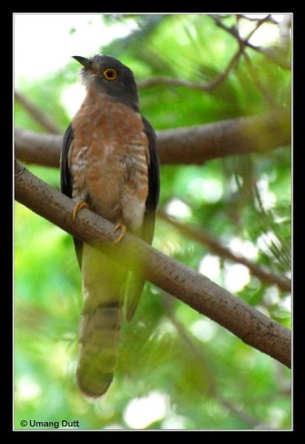 Common Hawk-cuckoo, Cuculus varius