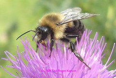 Bumble Bee Drone Feeding On A Thistle Flower by Ted Roger Karson