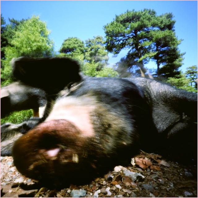 Cochon Corse