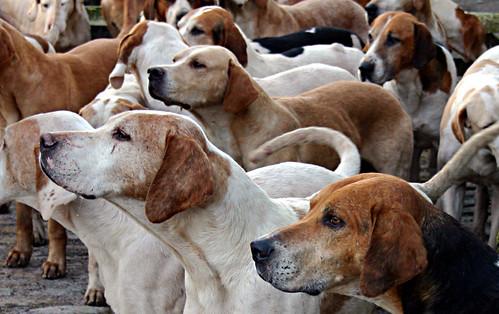 hounds in close
