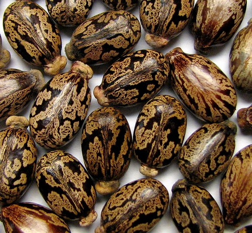 Castor Bean Seeds - Ricinus communis