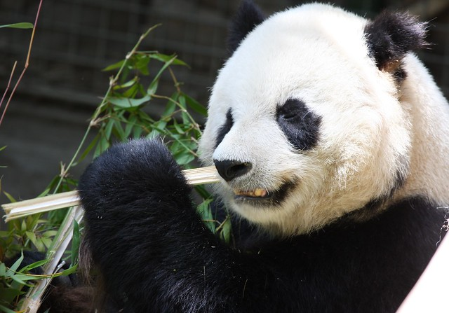 Panda Bite