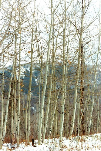 Grand Mesa -   Snow Trees,   Oct 02